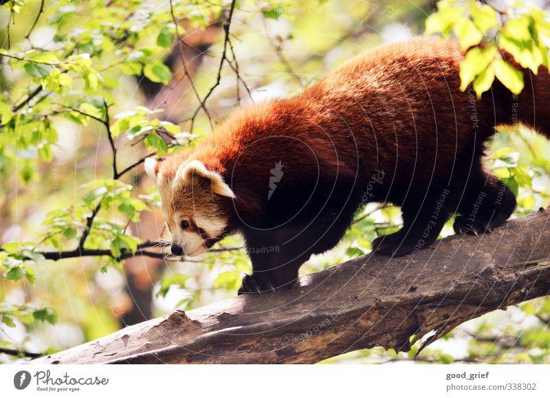 roter panda Umwelt Natur Landschaft Pflanze Tier Urelemente Klima Garten Park Wald Urwald Panda Bär Nase Baumstamm Ast Blatt Eukalyptusblüte Eukalyptusbaum Ohr