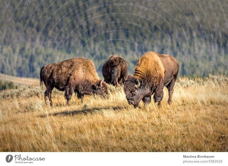 Herde wilder Bisons, Yellowstone-Nationalpark Tier yellowstone Wyoming Büffel Natur Tierwelt Park national Säugetier USA männlich Bulle Prärie braun Westen