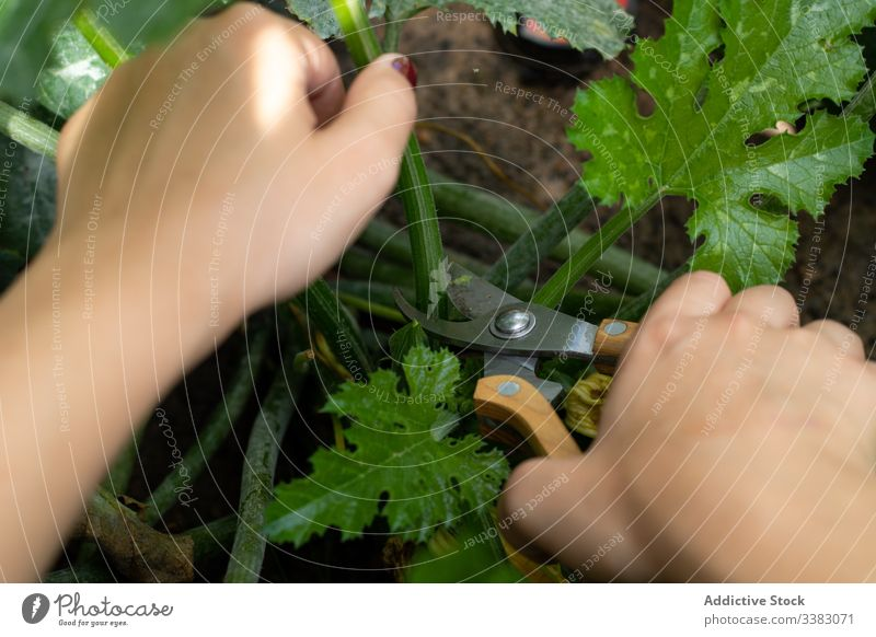 Im Garten arbeitende Frau mit Gartenschere geschnitten Pflanze Schere jung positiv Arbeit grün Ackerbau organisch Natur kultivieren Boden Umwelt Schonung Sommer