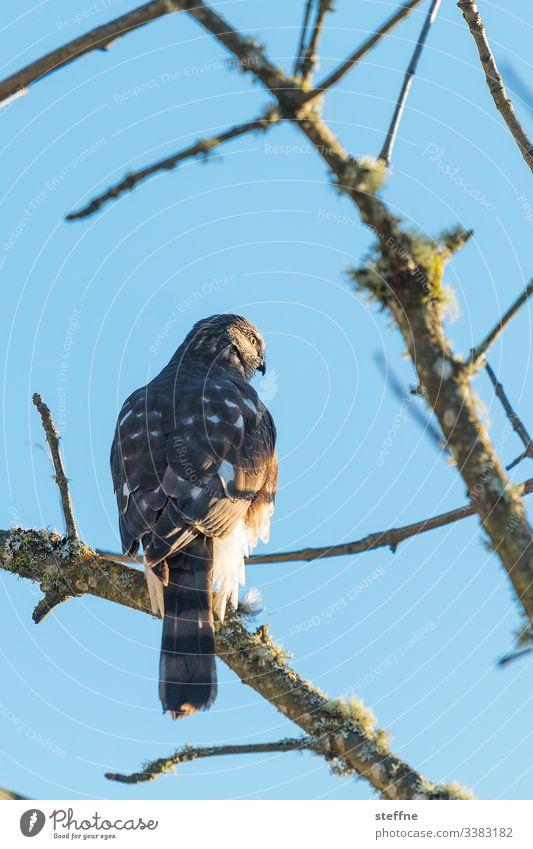 Habicht auf Baum sitzend Greifvogel Natur freie Wildbahn Ast Sonnenlicht Schönes Wetter Bussard selten Blauer Himmel