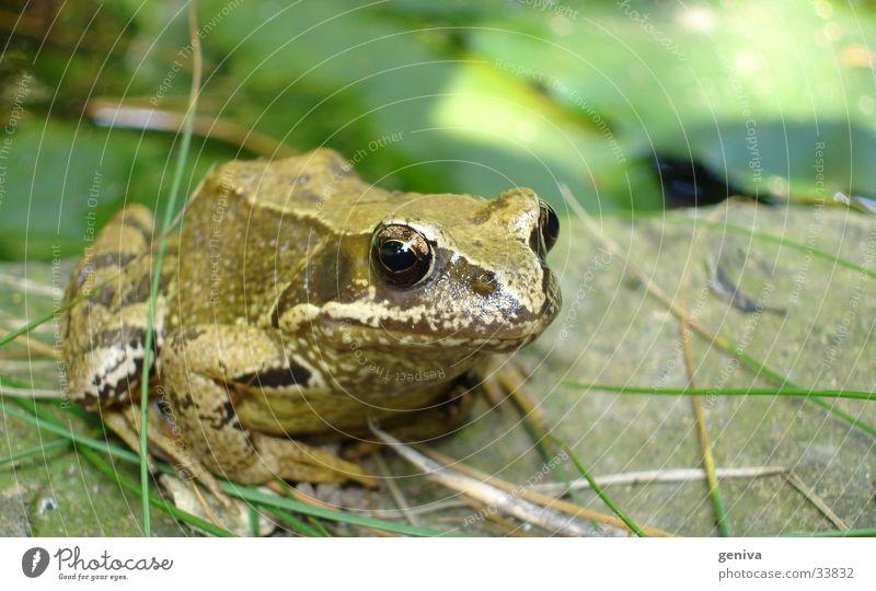 spring ins feld grün Verkehr Frosch Natur Nahaufnahme Kröte Auge
