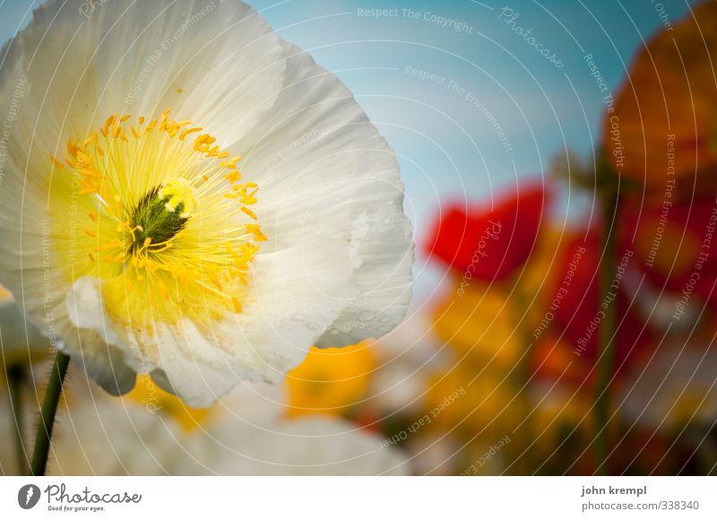 tschüss, liebe anne. für dich solls weißen mohn regnen! Natur Pflanze schön Sommer weiß gelb Blüte Liebe Glück Garten Zusammensein Park Idylle Blühend Lebensfreude Romantik