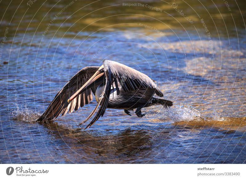 Brauner Pelikan Pelecanus occidentalis Wasservögel Vogel Tier Tierwelt schwimmen Meer MEER Sanibel Island Leuchtturm Strandpark Sanibel Strand Landschaft Natur