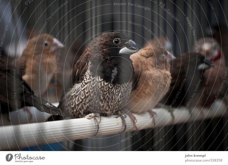flughunde in action Tier dunkel braun Vogel Angst trist Tiergruppe gefangen Justizvollzugsanstalt hocken Käfig