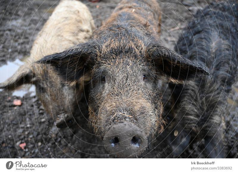 Öko Wollschwein ökologisch Bio Bauernhof Landwirtschaft biologisch Tier Bioprodukt Außenaufnahme natürlich menschenleer Natur dreckig Blick in Kamera