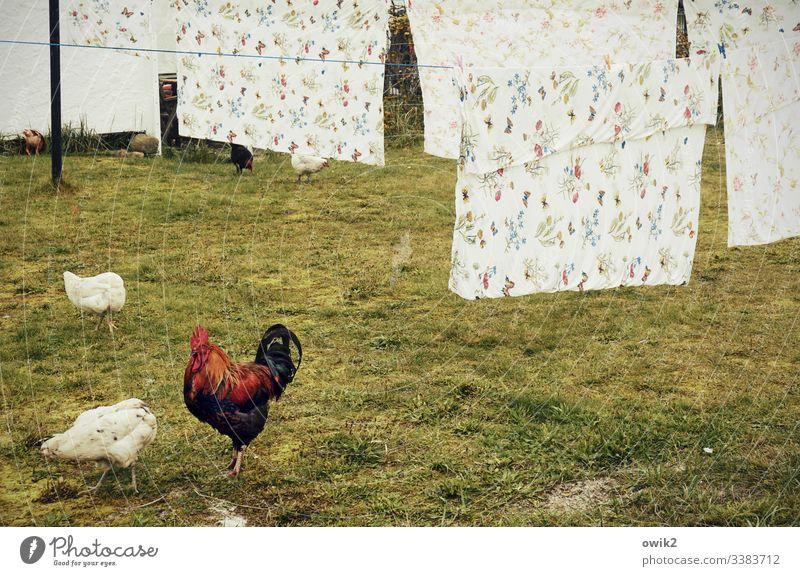 Gockel, streng dreinblickend, mit zwei Hühnern, die vor einer Phalanx von frisch gewaschenen Bettbezügen vor sich hin picken Tiere Hahn Wiese fressen