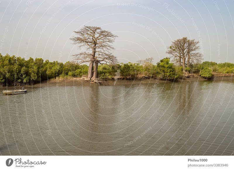 Mangrovengebiet mit Affenbrotbäumen Gambia Affenbrotbaum Schönheit in der Natur Farbbild Wald horizontal Haus idyllisch Landschaft - Landschaft Mangrovenwald
