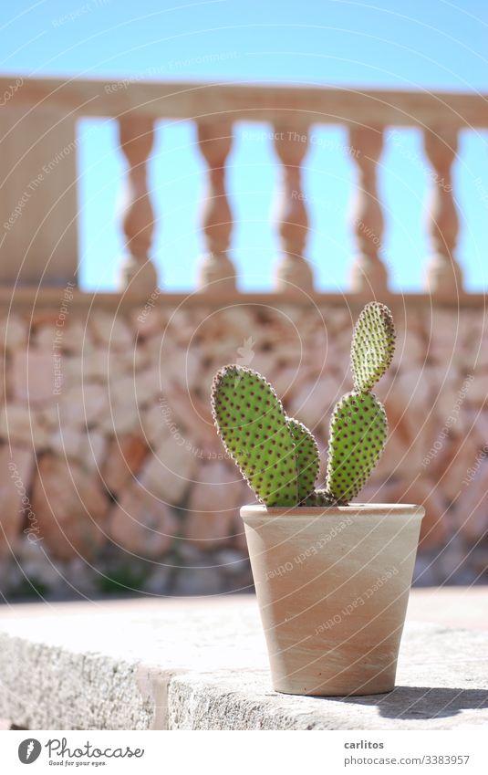 Kaktus im Topf vor mediterraner Mauer Terracotta Sommer Sonne Wärme Pflanze Stachel Balustrade Mallorca Sonnenlicht Spitze Menschenleer grün Himmel blau