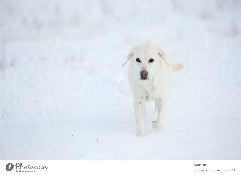 Weiße Labradorhündin im Schnee Hund Haustier Außenaufnahme Tierporträt Tierliebe Blick Winter kalt Senior Winterfell frieren Blick in die Kamera Betagtheit