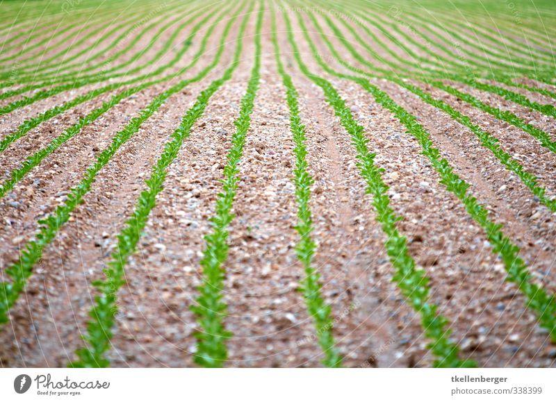 Es wächst Wirtschaft Landwirtschaft Forstwirtschaft Natur Pflanze Erde Feld braun grün Setzling Gemüse Ernährung Farbfoto Außenaufnahme Detailaufnahme abstrakt