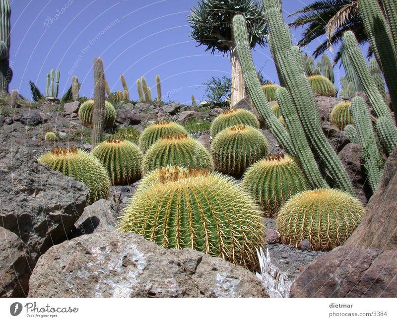 Kaktus Pflanze Natur