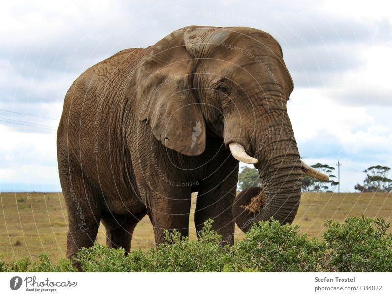 die wilden Tiere Südafrikas Elefant groß reisen Wildnis Kofferraum Savanne Stoßzähne Landschaft natürlich Reserve Tourismus Hintergrund Buchse Natur Tierwelt