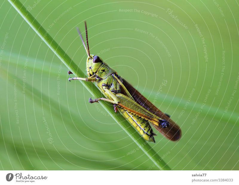 Alles grün, Grashüpfer hält sich an Grashalm fest Natur Wiese Pflanze Makroaufnahme Nahaufnahme Außenaufnahme Farbfoto Schwache Tiefenschärfe Grünpflanze