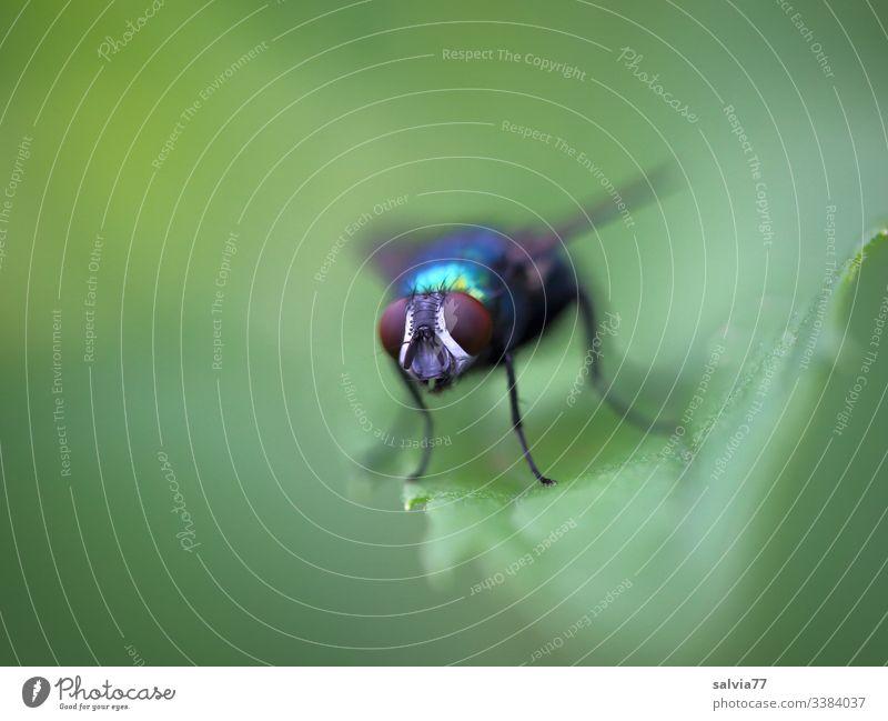 Facettenauge, Fliege sitzt auf grünem Blatt Makroaufnahme Freisteller Hintergrund neutral Textfreiraum links Textfreiraum oben Pflanze Natur Menschenleer