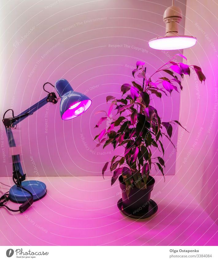 Die Anzucht von Setzlingen zu Hause und rosa LED-Phyto-Leuchtlampen für Pflanzen. Ackerbau Technik & Technologie Spektrum rot violett phyto Licht Öko Garten