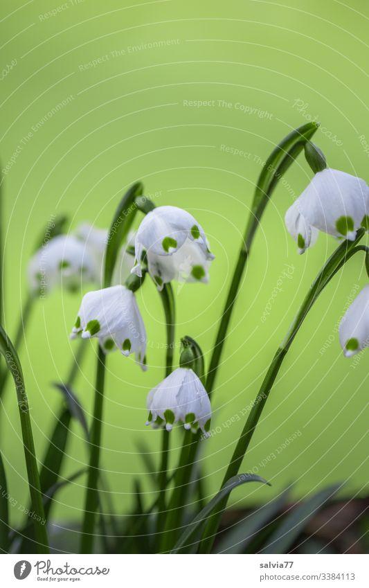 Märzenbecher vor hellgrünem Hintergrund Freisteller Hintergrund neutral Farbfoto Nahaufnahme Makroaufnahme Textfreiraum oben Menschenleer Außenaufnahme Frühling