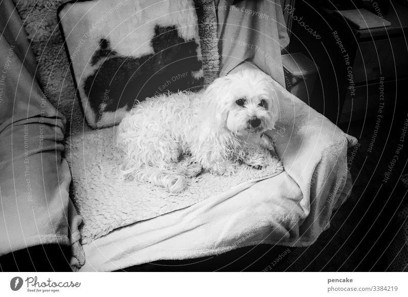 oma's liebling hund weiss malteser klein sessel fernsehsessel liegen putzig haustier tierportrait schwarz weiss Fell Tag Innenaufnahme Tiergesicht niedlich