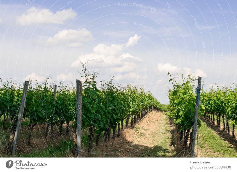 Weinbäume mit Sonnenlandschaft. Weinberg Landschaft Ackerbau Sonnenaufgang reisen Tal malerisch Wolken Himmel Bauernhof Feld Traube Hügel Trauben Napa Weingut