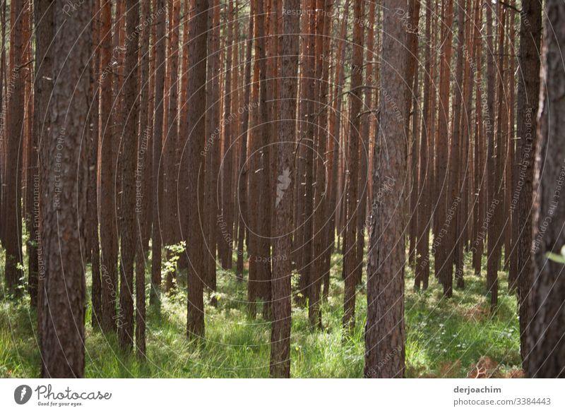 Bäume und Sonnenstrahlen. Ohne Blätter. Nur die Stämme- Tag Menschenleer Außenaufnahme Natur Farbfoto Landschaft grün natürlich Umwelt Schönes Wetter Wiese