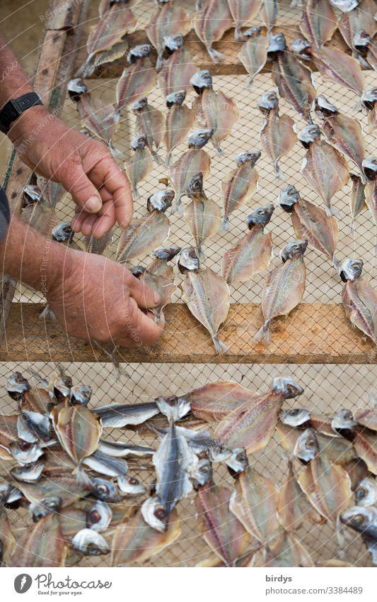 Fischer legt Sardinen auf einem Trockengestell zum Trocknen aus, für weitere Verwendung als Trockenfisch für Fonds, Soßen etc. trocknen Fischereiwirtschaft