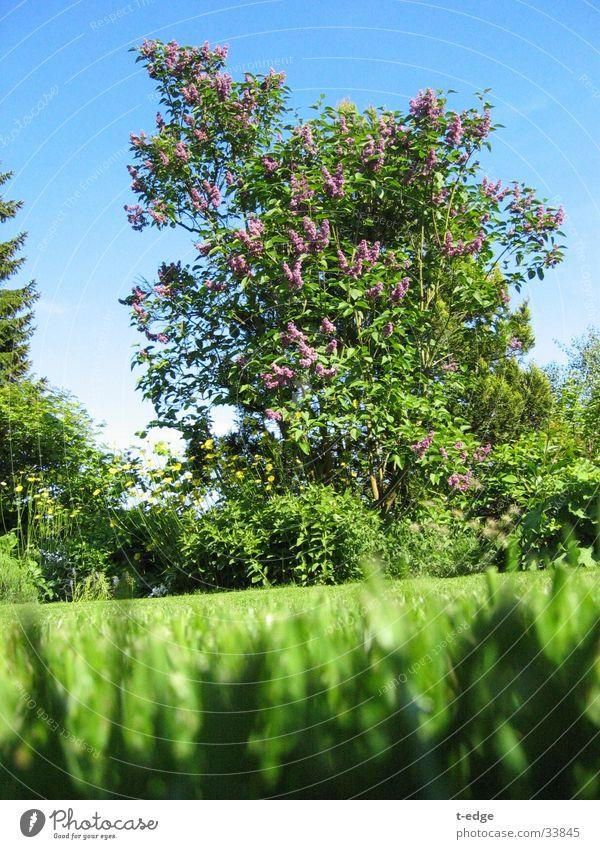 Sehr weit für eine kleine Ameise Sonne grün Garten Rasen Fliederbusch