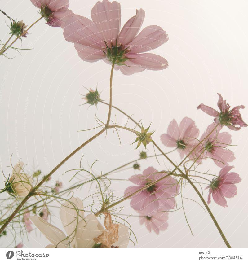 """Durch die rosa Brille Cosmea"""" Cosmeablüte Blumenwiese Sommer Blühend Natur Außenaufnahme Farbfoto mehrfarbig Menschenleer Schwache Tiefenschärfe Garten Duft"""