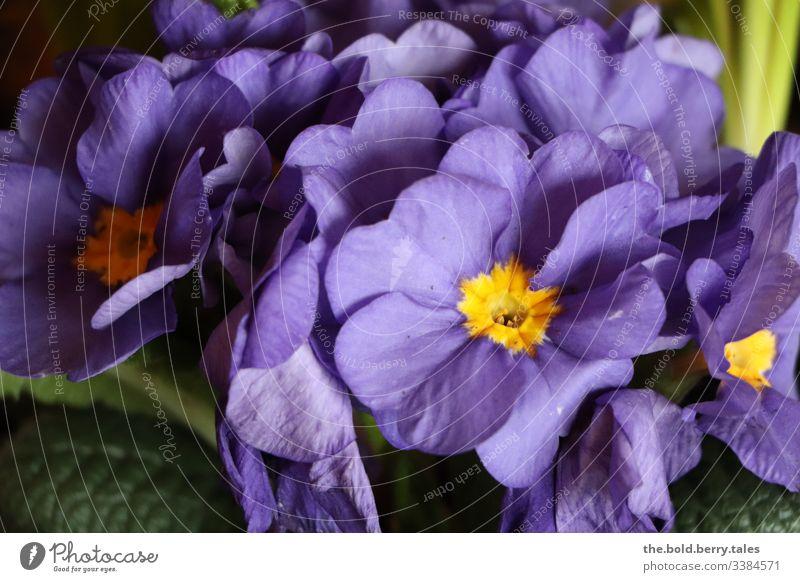 Primel lila Makroaufnahme Detailaufnahme Sonnenlicht Licht Tag Leben Innenaufnahme Menschenleer Farbfoto Freude Farbe Optimismus Pflanze Frühling schön
