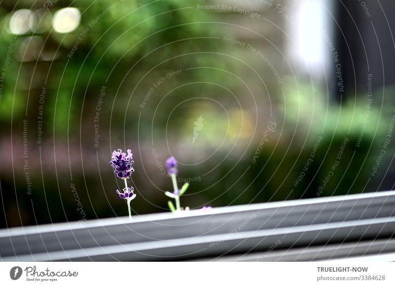 Zwei vorwitzige Lavendelblüten beobachten, wie der Fotografierer sie durch die Fensterscheibe fotografiert Lavendel-Blüten einzeln Garten-Hintergrund weiß lila