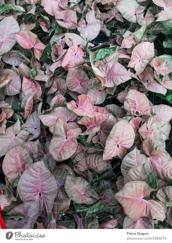 Rosa grüne Pflanzen Zimmerpflanzen Vogelperspektive Schwache Tiefenschärfe Kontrast Muster Makroaufnahme Detailaufnahme Nahaufnahme Farbfoto rot Topfpflanze