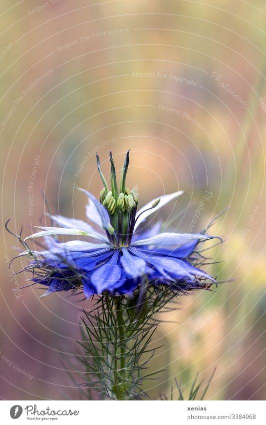 Eine Blüte Jungfer im Grünen vor unscharfem Hintergrund Nigella Blume Wiese Sommer blau Natur Blühend Detailaufnahme