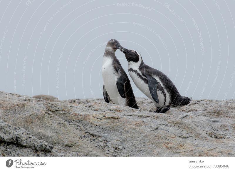 Pinguin füttert Jungtier Brillenpinguin Boulders Beach Südafrika Tiere Wildtiere füttern Mutter Vogel Natur Strand Tierporträt Küste bedroht bedrohte tierart