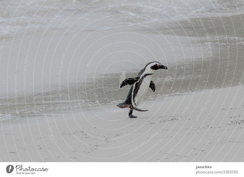 Pinguin läuft aus dem Wasser über Strand Brillenpinguin Boulders Beach Südafrika Tiere Wildtiere Vogel Natur Tierporträt Küste bedroht bedrohte tierart laufen