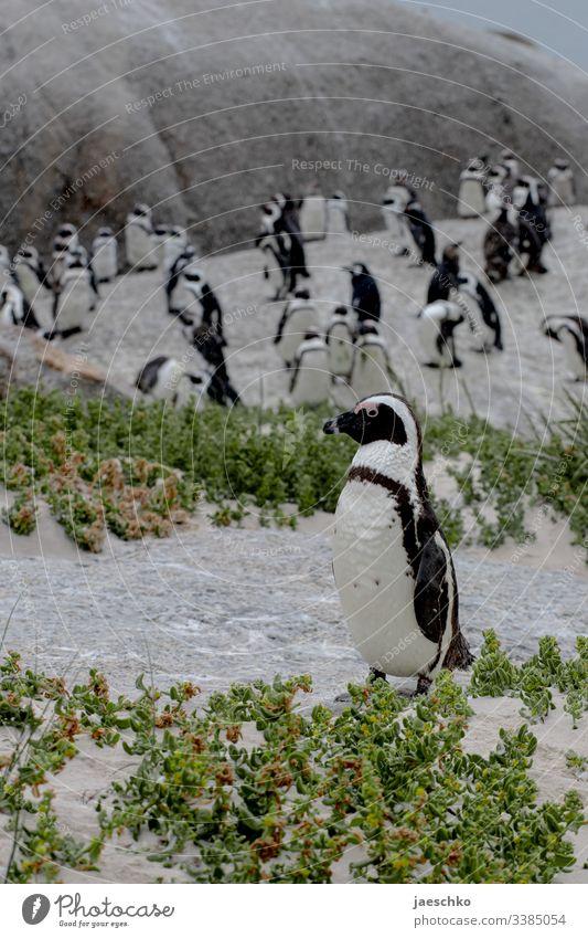 Pinguine am Strand Brillenpinguin Boulders Beach Südafrika Tiere Wildtiere Vogel Natur Tierporträt Küste bedroht bedrohte tierart Familie Gruppe Gemeinschaft