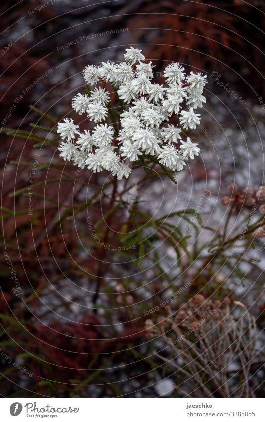 Weiße Blume in Südafrika Blüte weiß Wildblume Pflanze Natur Blühend Doldenblüte karg trocken genügsam Wiese Wildpflanze nadelgehölz