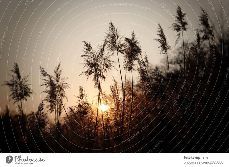 Graswedel im untergehenden Sonnenlicht Bambusgras Pampasgras Spätsommer Schilf Schilfgras Schilfrohr Abendlicht Pampagras Sonnenuntergangsstimmung verträumt