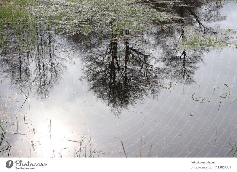 Baumspiegelung in Teich Spiegelung Spiegelung im Wasser Lichtspiegelung Bäume im See Bäume im Wasser Seeufer Seegras dunstig Sumpf Reflexion & Spiegelung