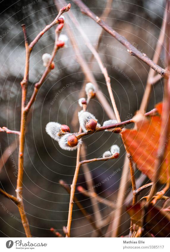 Weidenkätzchen Frühling Pflanze Farbfoto weich Natur Blühend Außenaufnahme Ast Sträucher Zweig Blüte Menschenleer zart weiß Nahaufnahme Blütenknospen