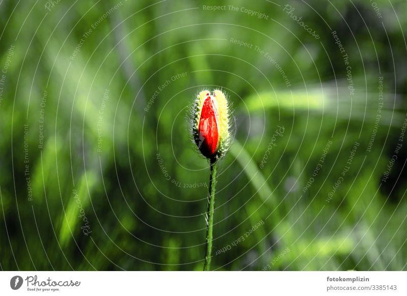 aufspringende Mohnknospe Mohnblüte mohnknospe mohnblumen Knospe Knospen Blütenknospen Lebenskraft Wachstum kraftvoll urkraft platzen Nahaufnahme Frühling