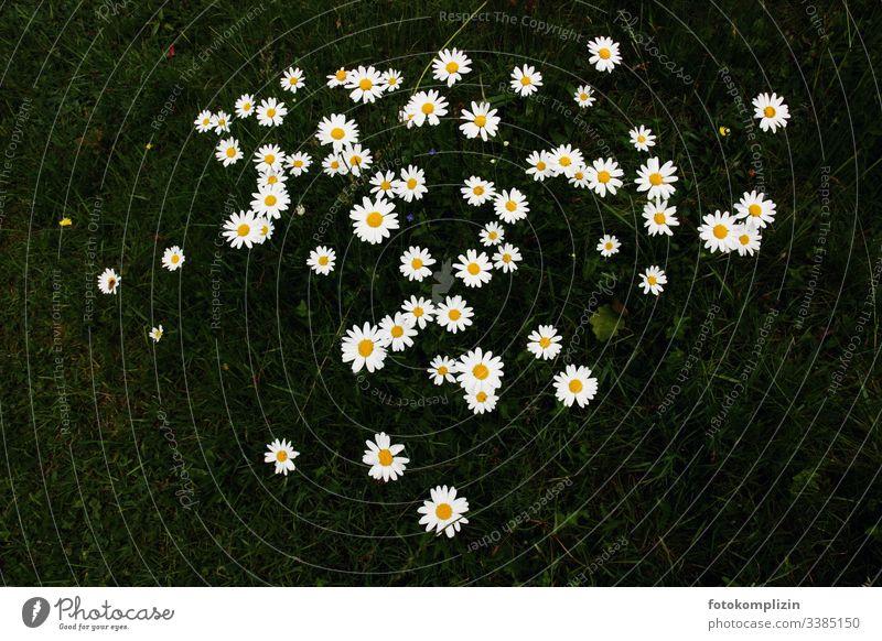 Blumensterne auf dunkler Wiese Gänseblümchen gänseblümchenwiese Blumenwiese Frühling Frühlingsbote Frühlingsblume Blütenblätter Blütensterne Kinderblumen