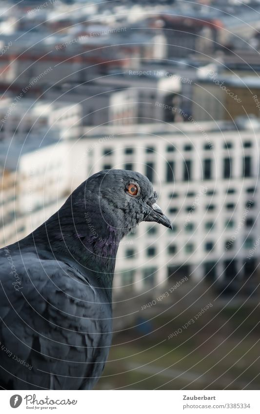 Taube sitzt am Fenster vor Hochhäusern in Berlin Profil Federn Hochhaus Schnabel Leipziger Platz fliegen Höhe Stadtmitte Freiheit Vogel Farbfoto Tag Tier grau