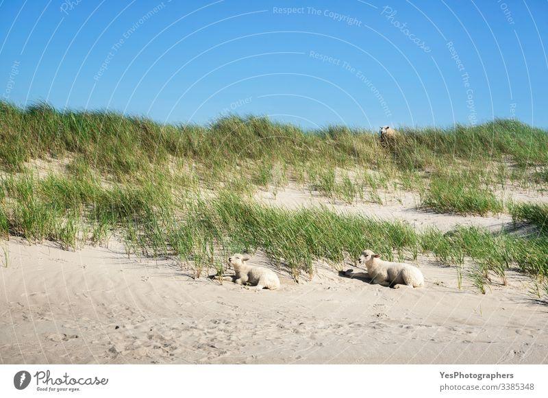 Grasige Dünenlandschaft mit Schafen und Lämmern auf Sylt Friesisches Tier Deutscher Strand Deutschland Schleswig-Holstein Babyschafe Strandlandschaft