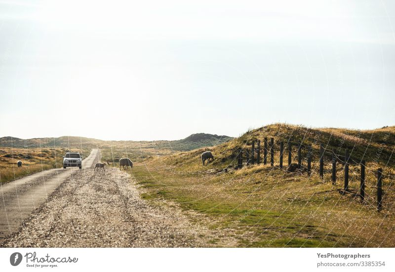 Straße durch Moosfelder auf der Insel Sylt. Frei laufende Schafe Deutschland Schleswig-Holstein Tiere PKW Klimawandel Landstraße Haustier fahren Europa Zaun
