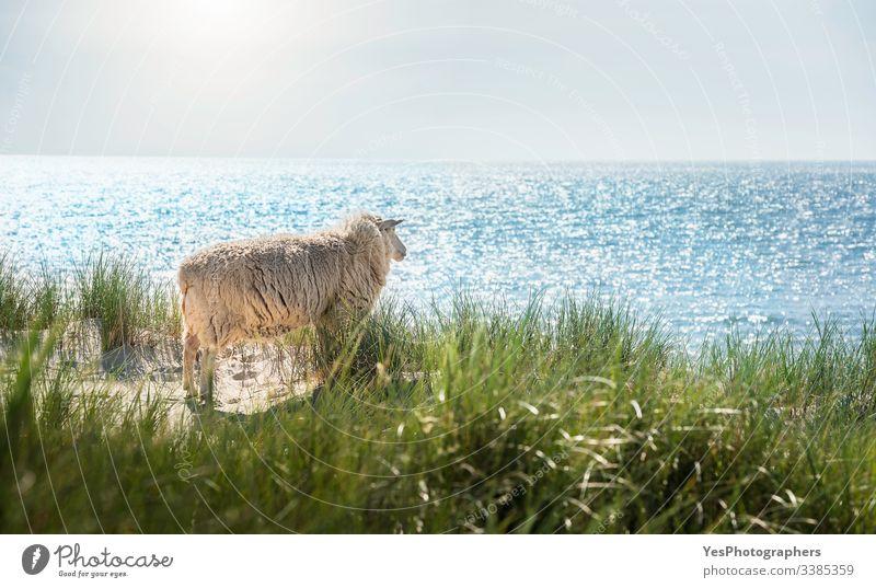 Weißes Schaf schaut auf das Nordseewasser auf Sylt Friesisches Tier Deutscher Strand Deutschland Schleswig-Holstein Strandlandschaft Blauwasser Klarer Himmel