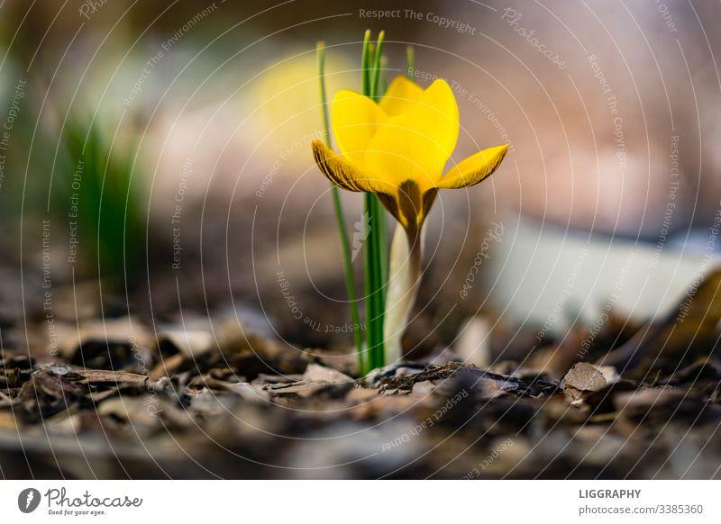 Der gelbe Krokus!!! Krokusse Frühling Pflanze Blüte Außenaufnahme Blühend Menschenleer Blume Natur Farbfoto Nahaufnahme Garten Blatt Makroaufnahme Wiese