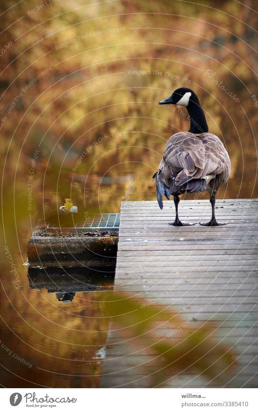 Die Kanadagans auf dem Laufsteg Gans Steg Bootssteg herbstlich Rückansicht Teich Wasser Gefieder stehen Nature Wasservogel