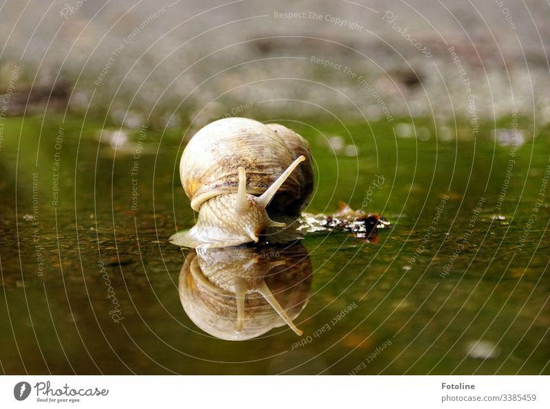 Schnecke kriecht durch eine Pfütze Schneckenhaus Tier Natur Farbfoto Außenaufnahme Nahaufnahme Makroaufnahme Schwache Tiefenschärfe Menschenleer Tierporträt