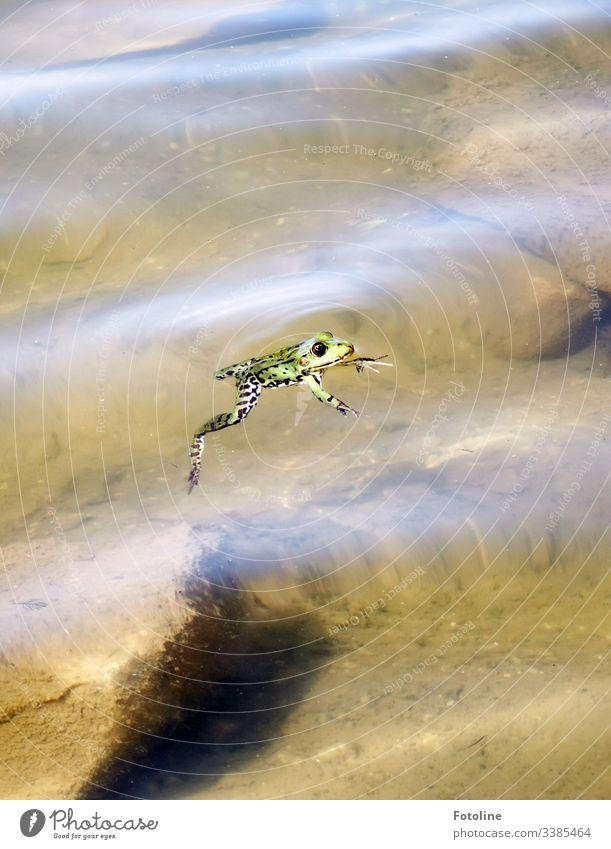 schwimmender Frosch grün Tier Farbfoto Außenaufnahme Natur Menschenleer Wasser Nahaufnahme Umwelt Schwache Tiefenschärfe natürlich Auge See Teich nass