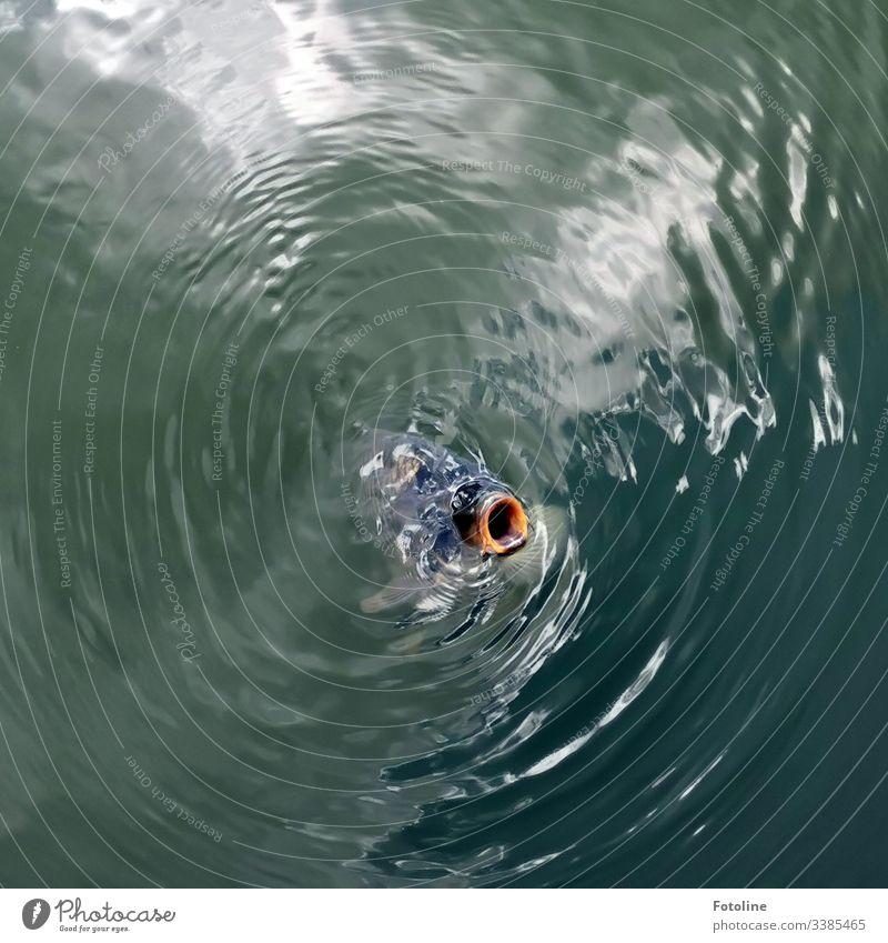 Karpfenteich Fisch Wasser Schwimmen & Baden Tier Farbfoto Außenaufnahme Tag Teich See Menschenleer Vogelperspektive Natur nass Umwelt Maul Nutztier Koi