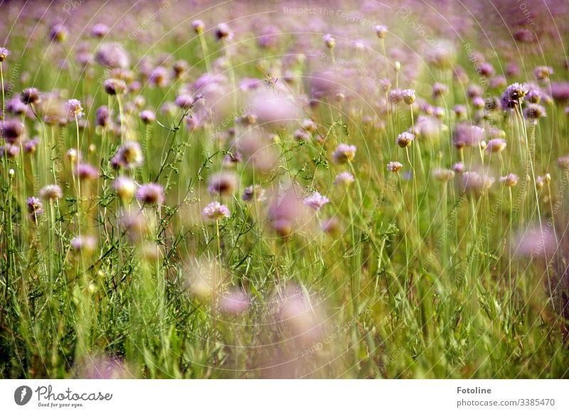 Eine wunderschöne Sommerwiese voller blühender Acker-Witwenblumen Feld Außenaufnahme Natur Farbfoto Pflanze Tag Menschenleer Umwelt Landschaft natürlich grün
