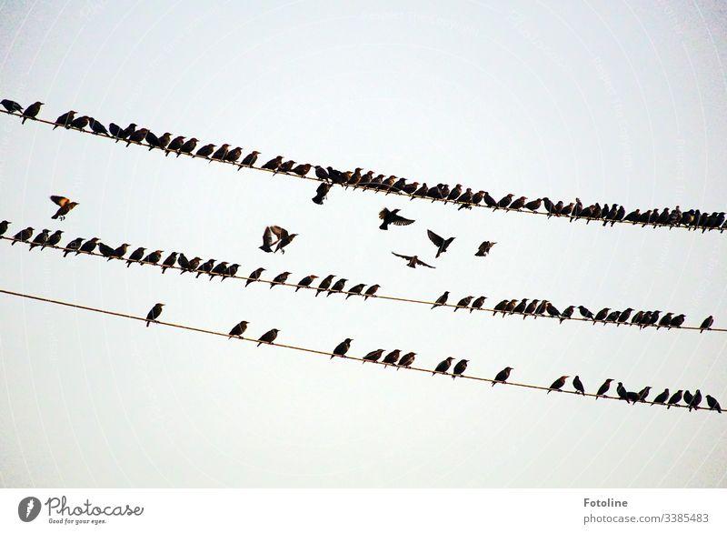 Vogelschwarm auf Hochspannungsleitungen Vögel Tier Natur Außenaufnahme Tag Wildtier Umwelt Menschenleer natürlich fliegen Himmel frei Freiheit Luft